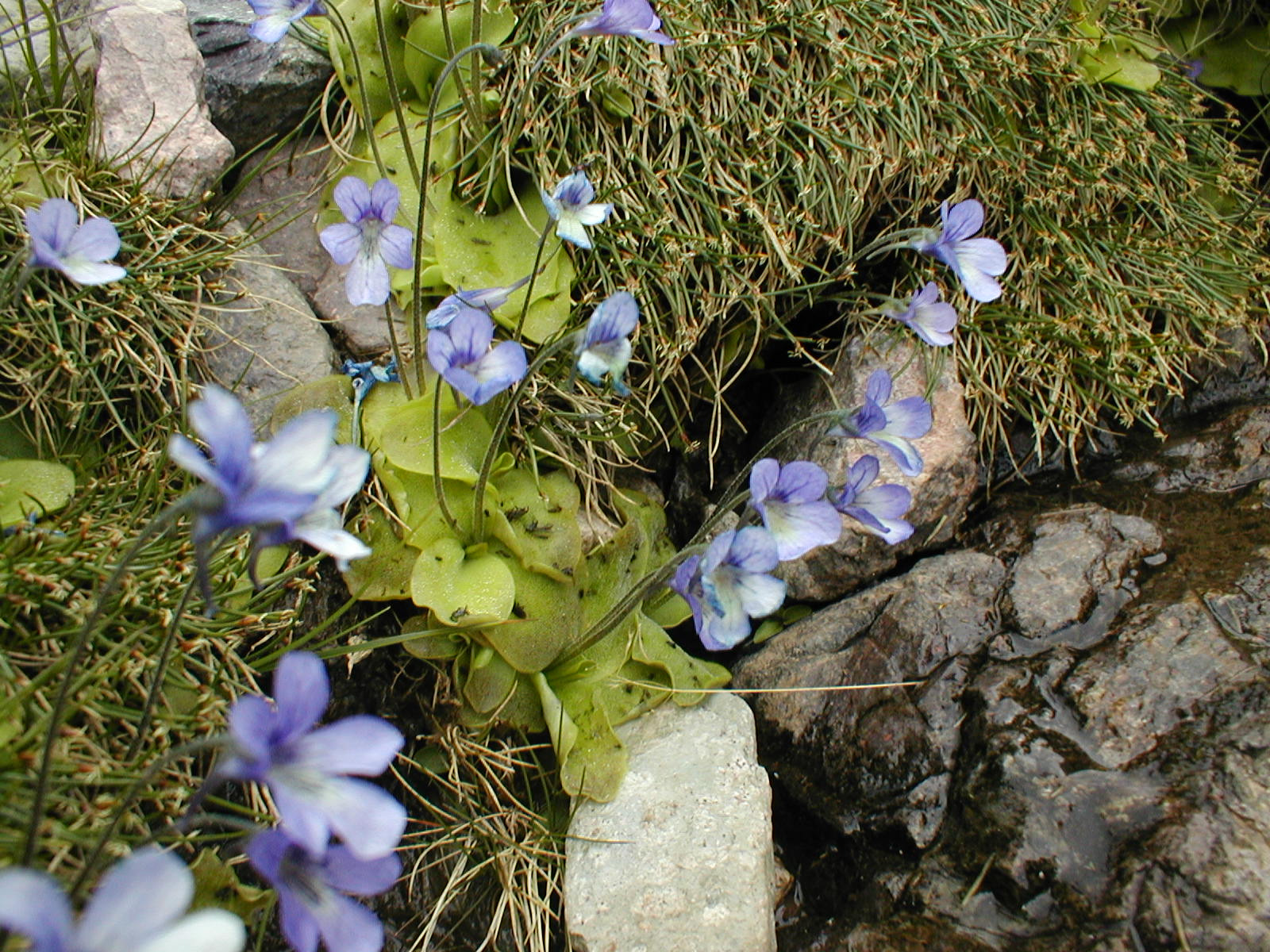 Pinguicula moranensis Ayautla Rare Mexican Carnivorous Plants